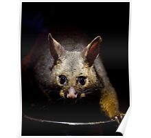 Australian Possum feeding on scraps Poster