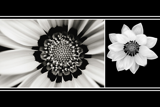 Black and White Gazania Diptych by Damienne Bingham