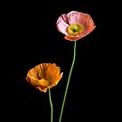 Poppies iPhone Case by prbimages