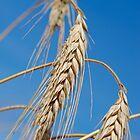 Wheat crop, France, Auvergne by Sami Sarkis