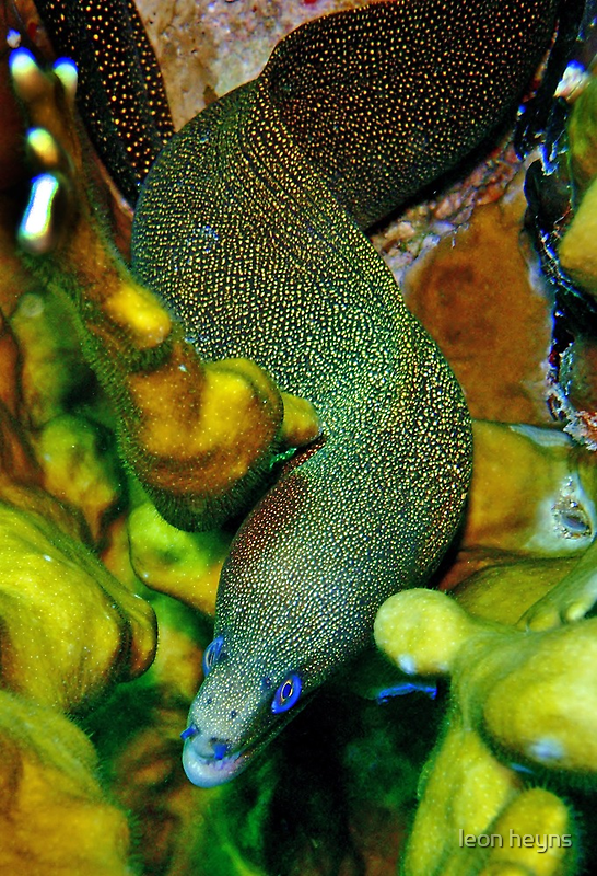 Golden Tail Moray by Leon Heyns