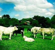 Cows by Cara Gallardo Weil