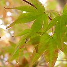 Maple Green Leaves by KPrecious