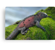 Marine Iguana on rock covered with green seaweed Canvas Print