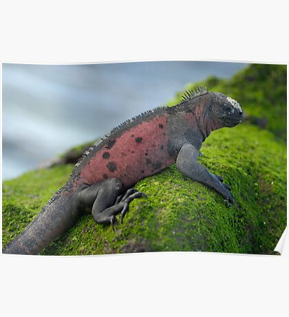 Marine Iguana on rock covered with green seaweed Poster