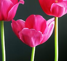 Trio of Tulips by Cindy Hitch