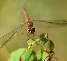 Little Ruby Meadowhawk by William Brennan