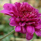 Brillant Pink by PatChristensen