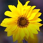 Sunflower by riotphoto