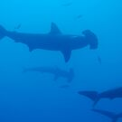 Silhouette of Scalloped Hammerhead sharks (Sphyrna lewini) underwater view by Sami Sarkis