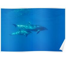 Wild Bottle-nosed dolphin (Tursiops truncatus) mother and calf, underwater view Poster