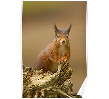 Red Squirrel Poster