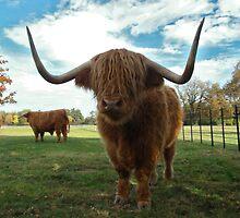 Highland Cattle/Gwartheg yr ucheldir by blodauhyfryd