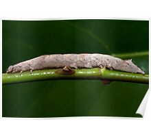 Zale Lunate Caterpillar on a rose stalk Poster
