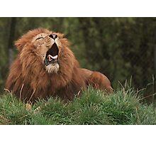 Lion Yawning Photographic Print