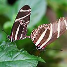 Mating Zebra Longwing - Heliconius charithonia by Lepidoptera