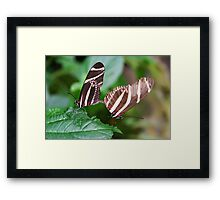 Mating Zebra Longwing - Heliconius charithonia Framed Print