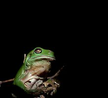 Green Tree Frog by Austscapes