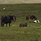 Dartmoor ponies by KMorral
