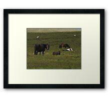 Dartmoor ponies Framed Print