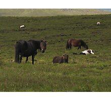 Dartmoor ponies Photographic Print