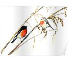 Scarlet Robins Poster