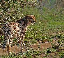 Cheetah by Heather Thorsen