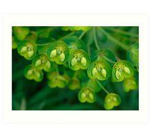 Euphorbia pods Art Print