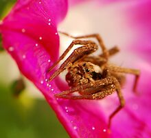 wolf spider and morning glory by davvi