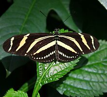 Zebra Striped Butterfly by Michael L. Colwell