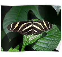 Zebra Striped Butterfly Poster