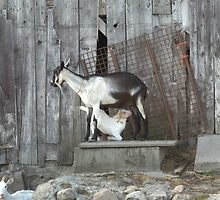 Dinner Time at the Old Barn :) by Rich Fletcher