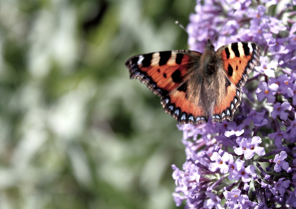 Painted Lady by Sqibb