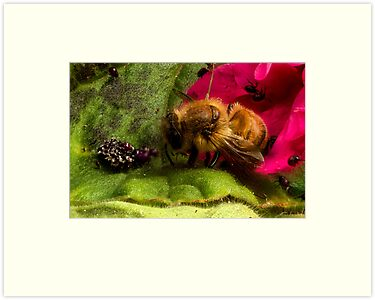 Studio Shot: Bee & Shield Bugs (nymph) by Colin  Ewington