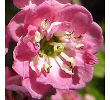 pink hawthorn Photographic Print