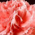 Silklike Carnation by SmoothBreeze7