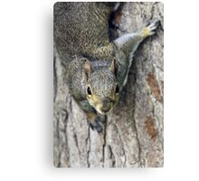 Curious gray squirrel Canvas Print