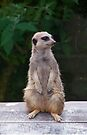 Meercat by LoneAngel