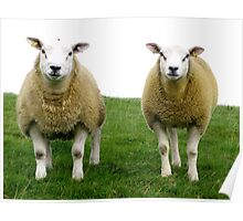 Cumbrian Sheep Poster
