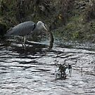Heron with fish by indianpeteee