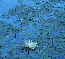 Lily Pond in North Carolina by JohnFry