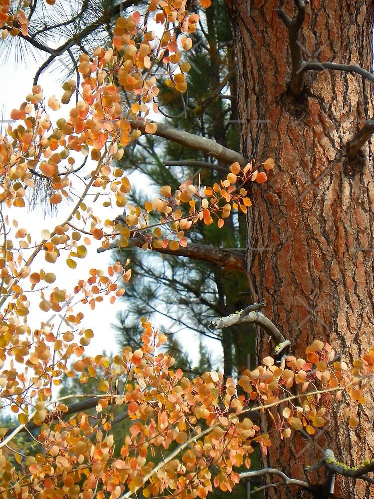 Pumpkin Pine & Quaking Aspen by Betty  Town Duncan