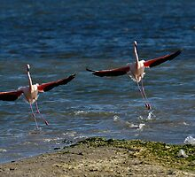 Two Greater Flamingoes (Phoenicopterus ruber) landing on surface of water by Sami Sarkis