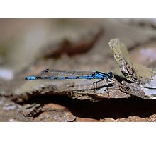 Common blue dragonfly Photographic Print