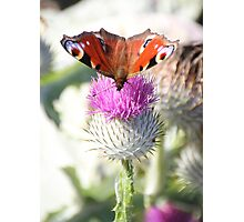 Peacock on thistle Photographic Print