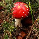 Fly Agaric-button stage by sarnia2