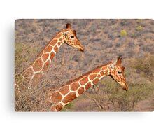 Reticulated Giraffes ~ Necking Canvas Print