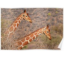 Reticulated Giraffes ~ Necking Poster