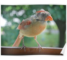 Young Northern Cardinal Poster