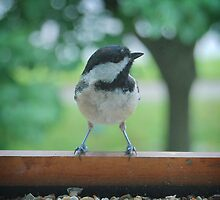 Carolina Chickadee by G. David Chafin